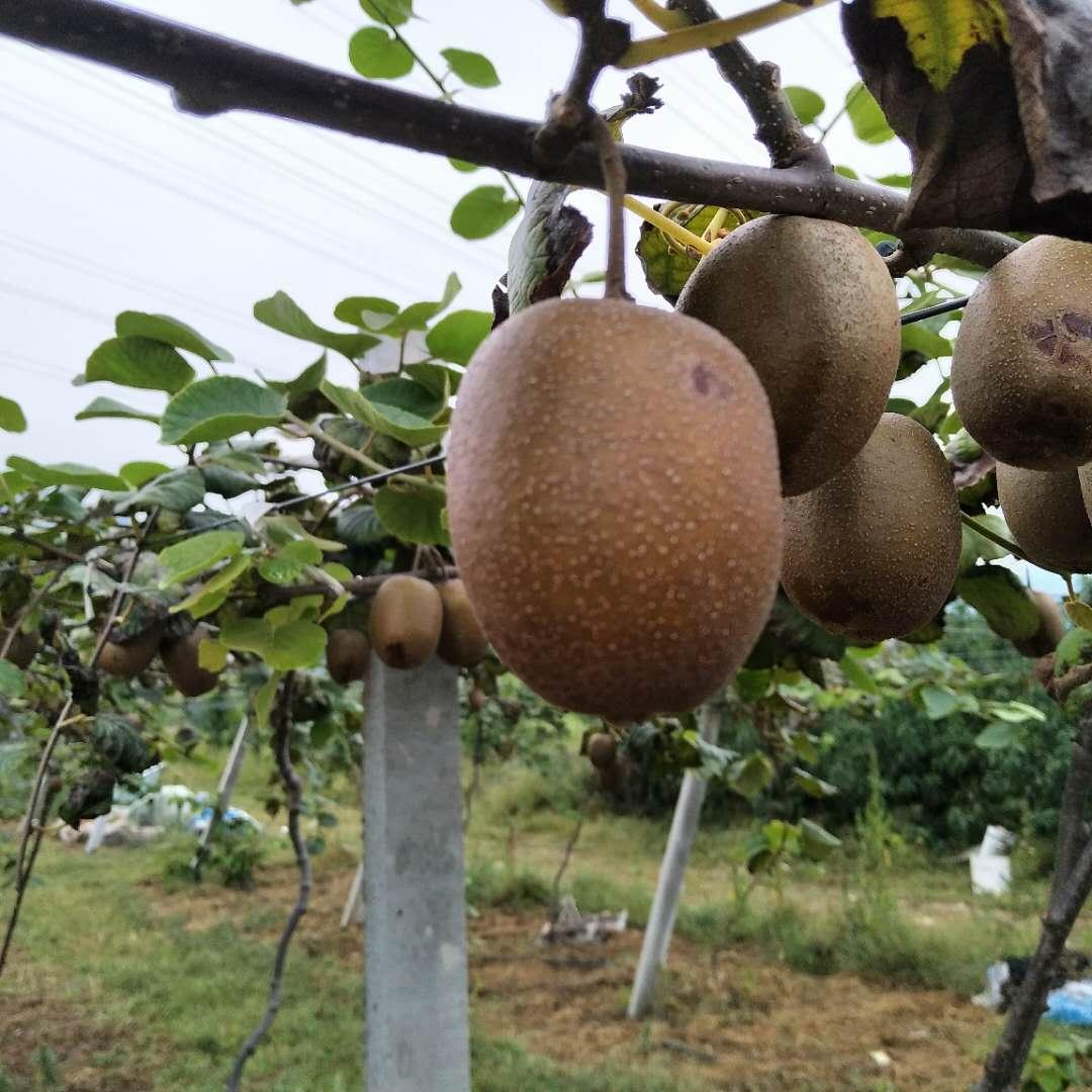 五阳元坤家庭农场猕猴桃认养
