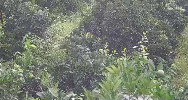 邻水脐橙果树认养(潘教)