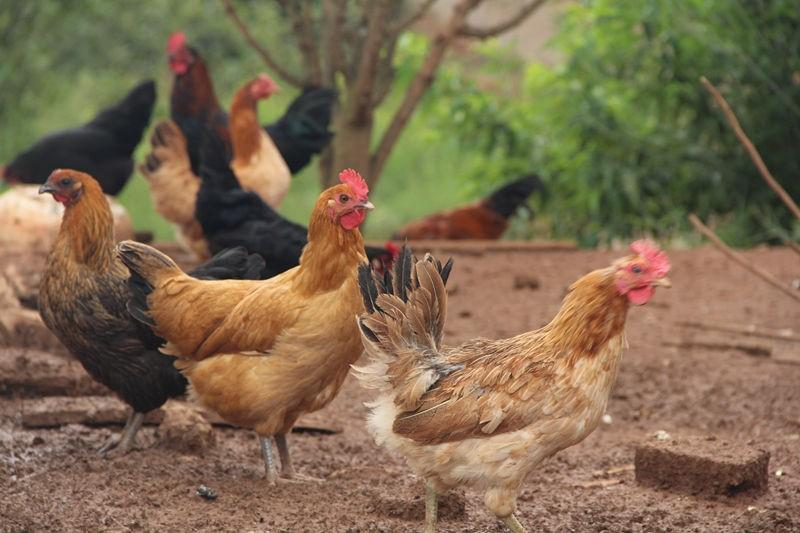 生态喂养土鸡